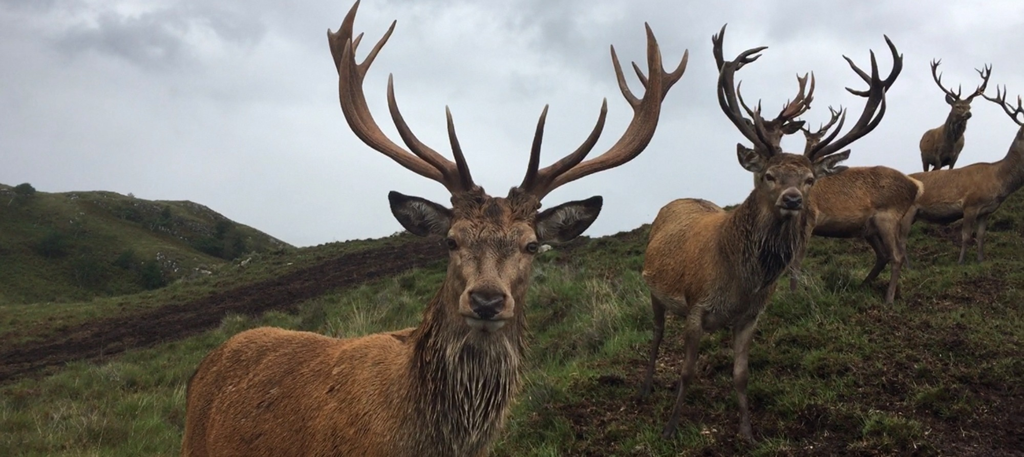 Highland Stags near lochbroom chalets