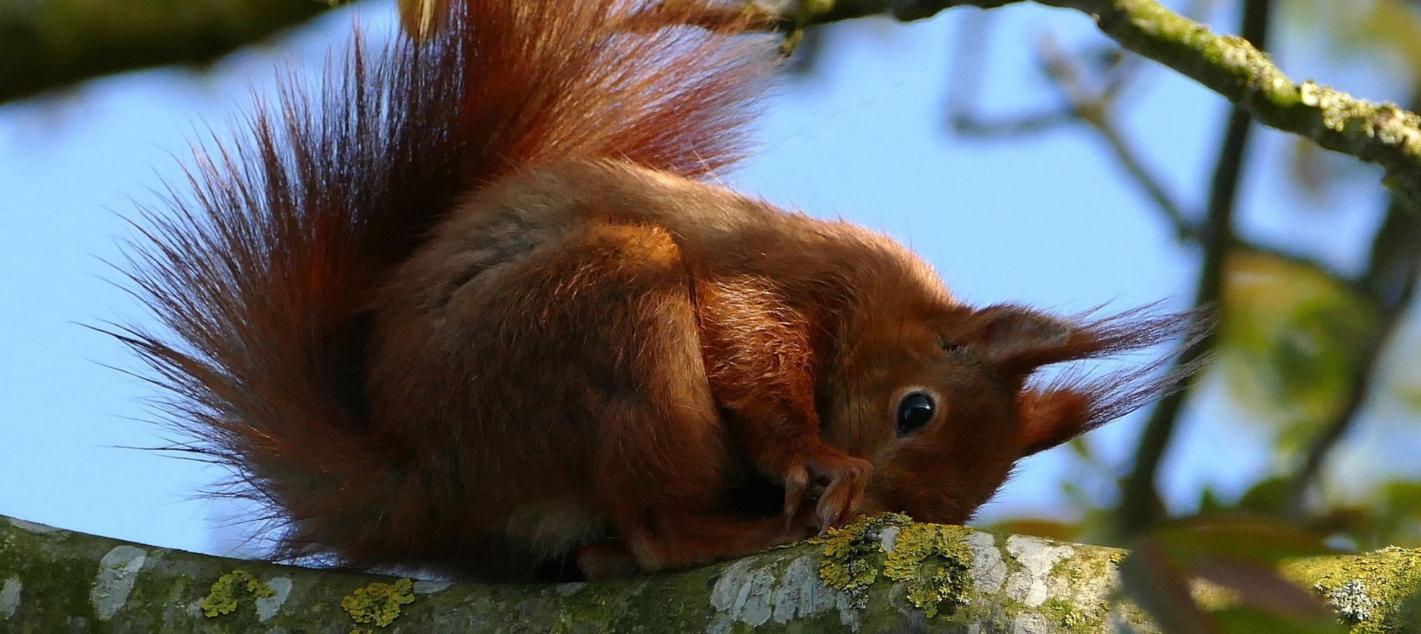 Wildlife in abundance at Loch Broom Chalets - Red Squirrel